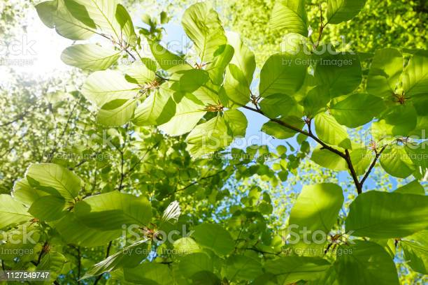 Photo of Young fresh green leaves in springtime - Closeup of beech leaves