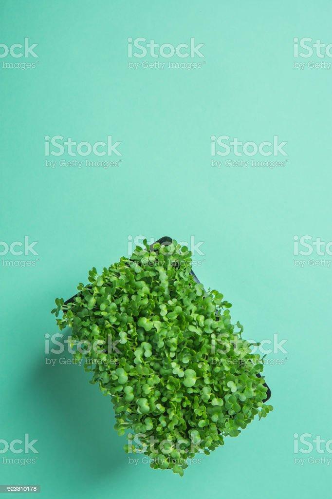 Joven brotes verdes frescos de berro de agua en maceta sobre fondo turquesa Pastel. Jardinería saludable planta basado en concepto de decoración de comida de dieta. Estilo moderno minimalista. Vista superior laica copia espacio plano - foto de stock