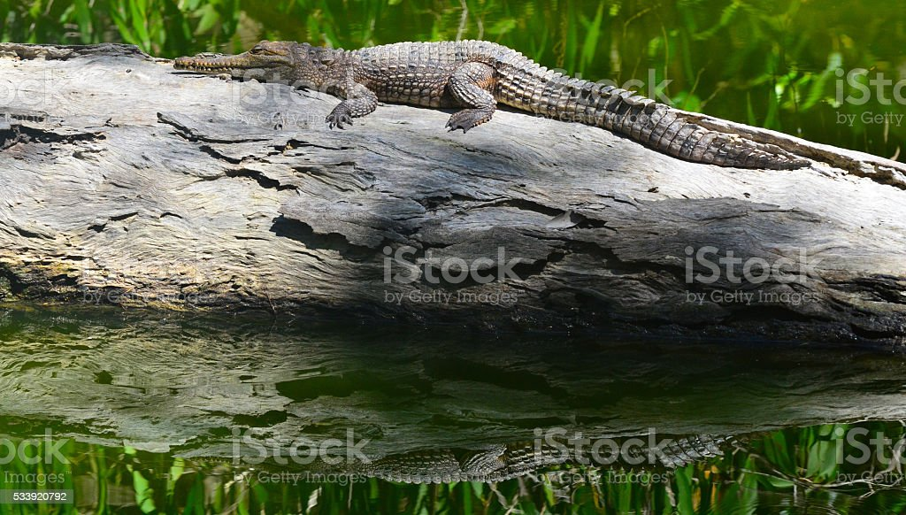 Young freshwater crocodile warms himself on a log tree stock photo