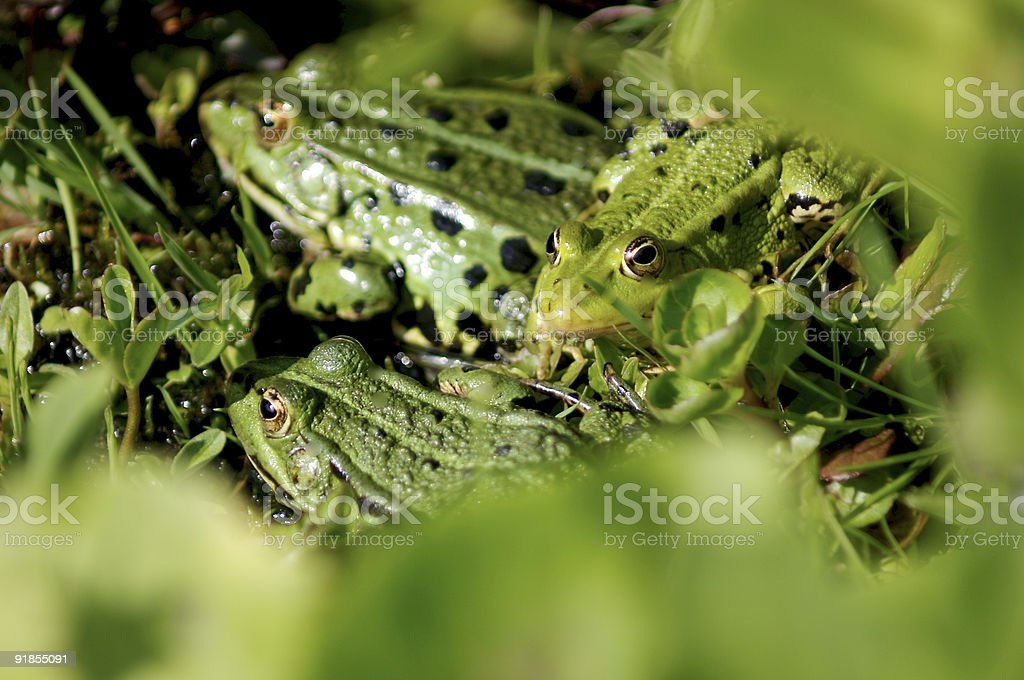 Young frog and his parents stock photo