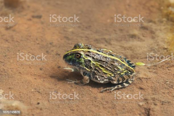 Photo of young frog Bullfrog, Namibia Africa wilderness