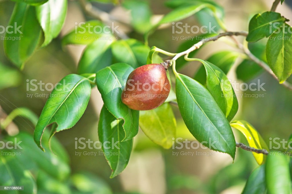 Young fruit of the camellia stock photo