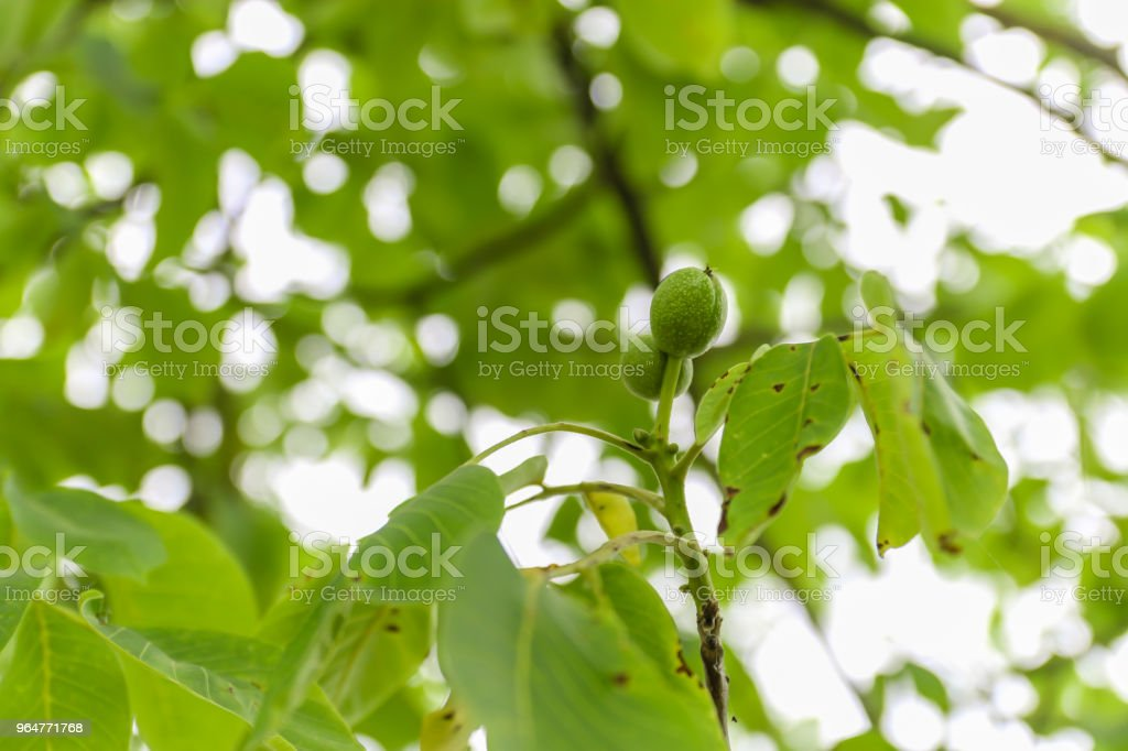 Young fruit of the walnut with green shell on branch with green leaves. royalty-free stock photo