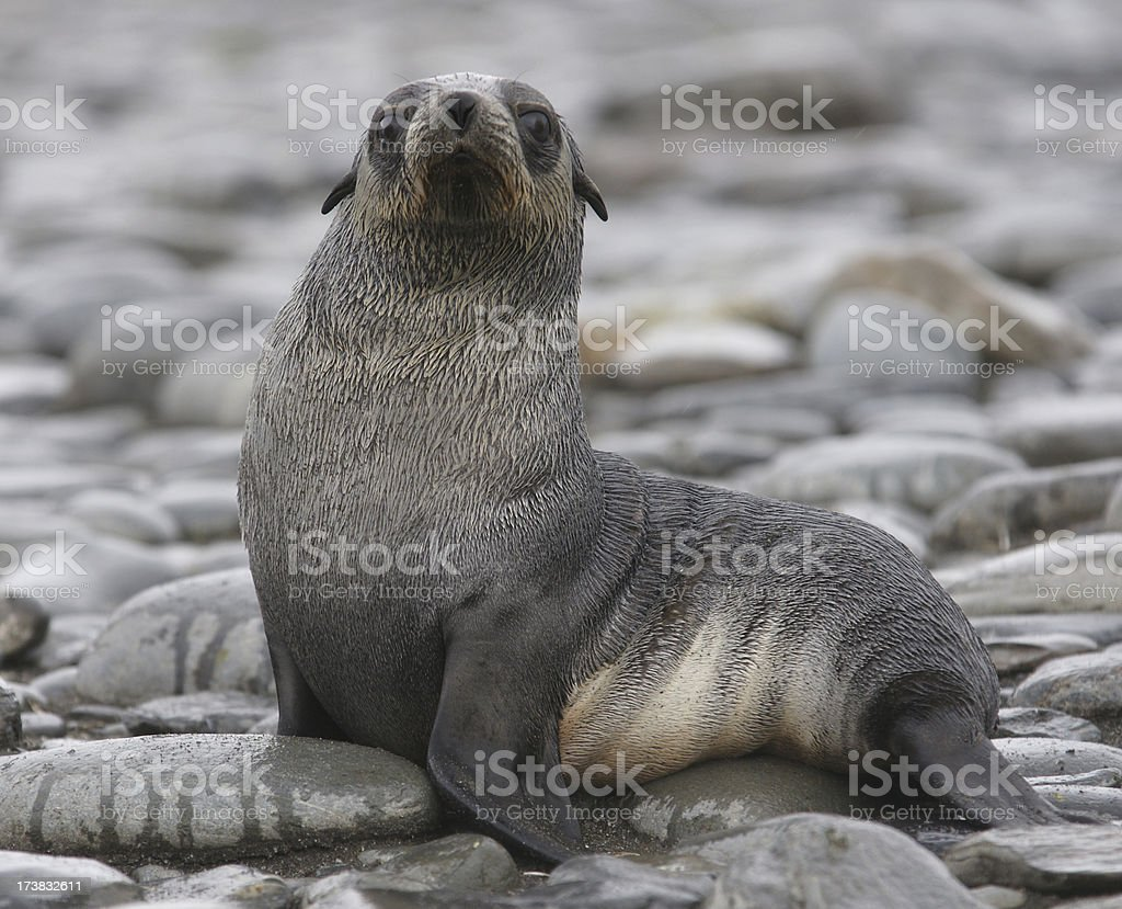 Young fur seal stock photo