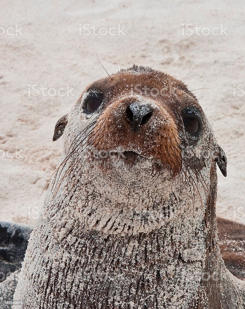 Young Galapagos Sea Lion on Beach stock photo