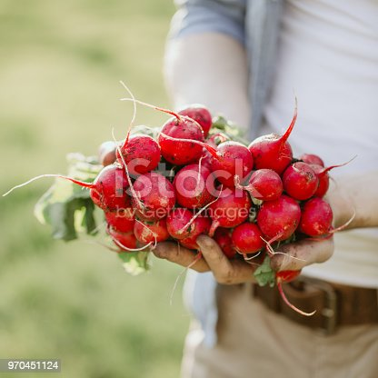 Closeup of gardener hands holding fresh grown harvest radish with green leaves and ground.