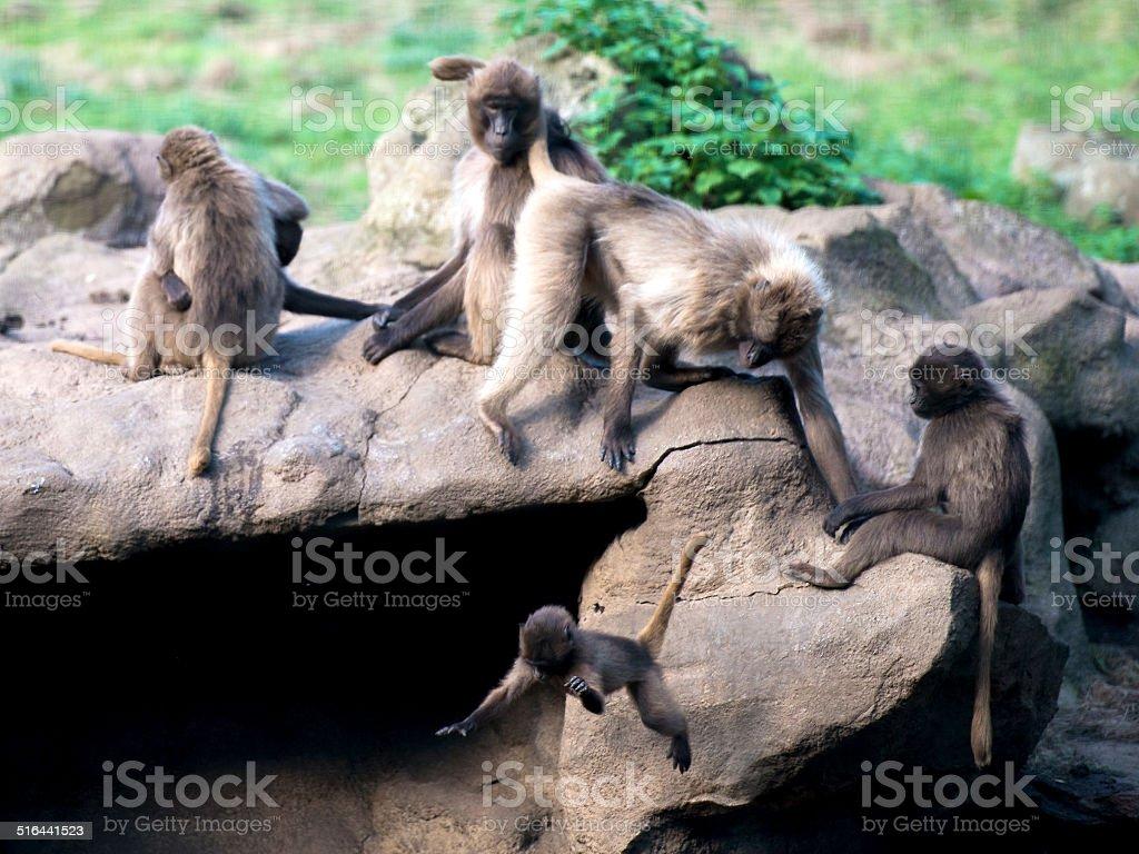 Young Gelada Baboon falls. stock photo