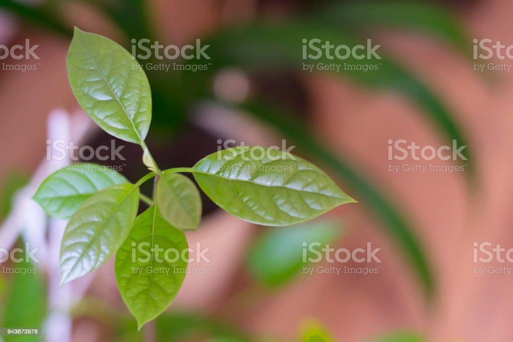 Young germ avocado grown at the home stock photo
