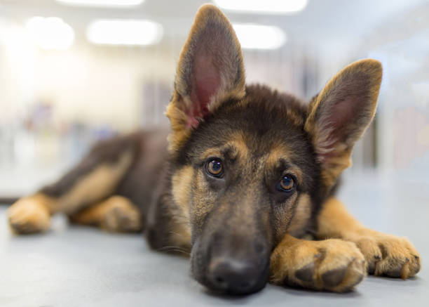 Young german shepherd puppy laying down looking at the camera stock photo