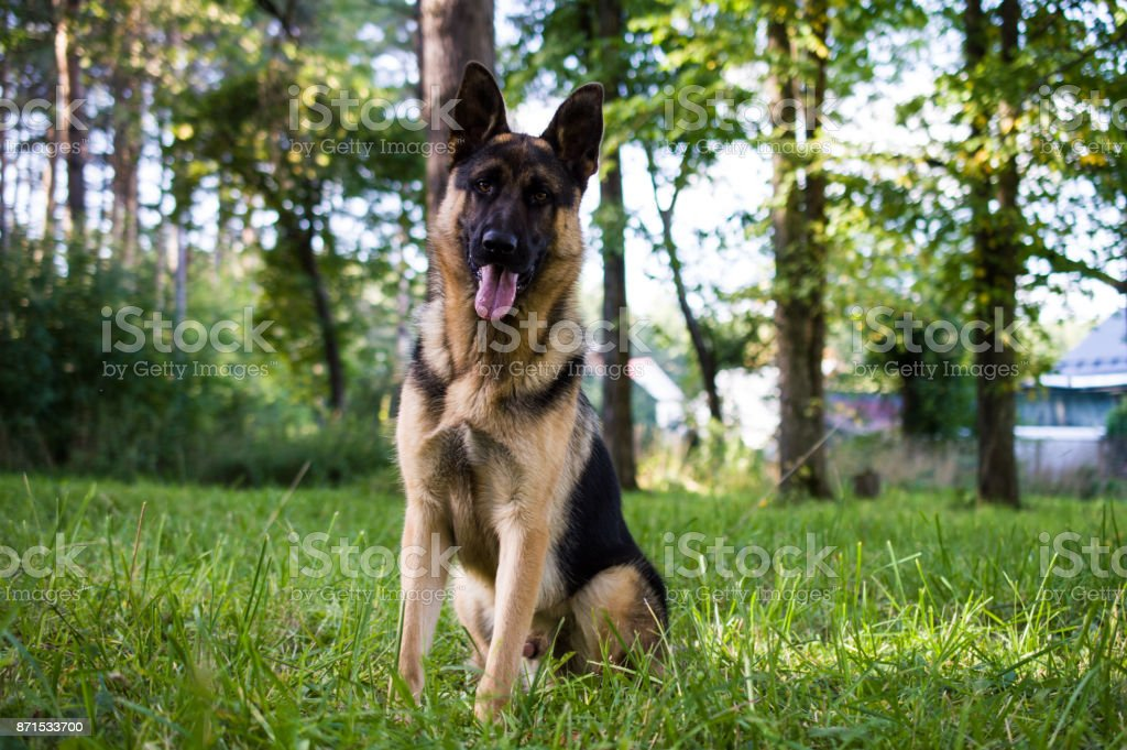 young german shepherd sitting on the grass in the park stock photo