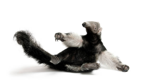 Young Giant Anteater, Myrmecophaga tridactyla, 3 months old, sitting in front of white background, studio shot Young Giant Anteater, Myrmecophaga tridactyla, 3 months old, sitting in front of white background, studio shot Giant Anteater stock pictures, royalty-free photos & images