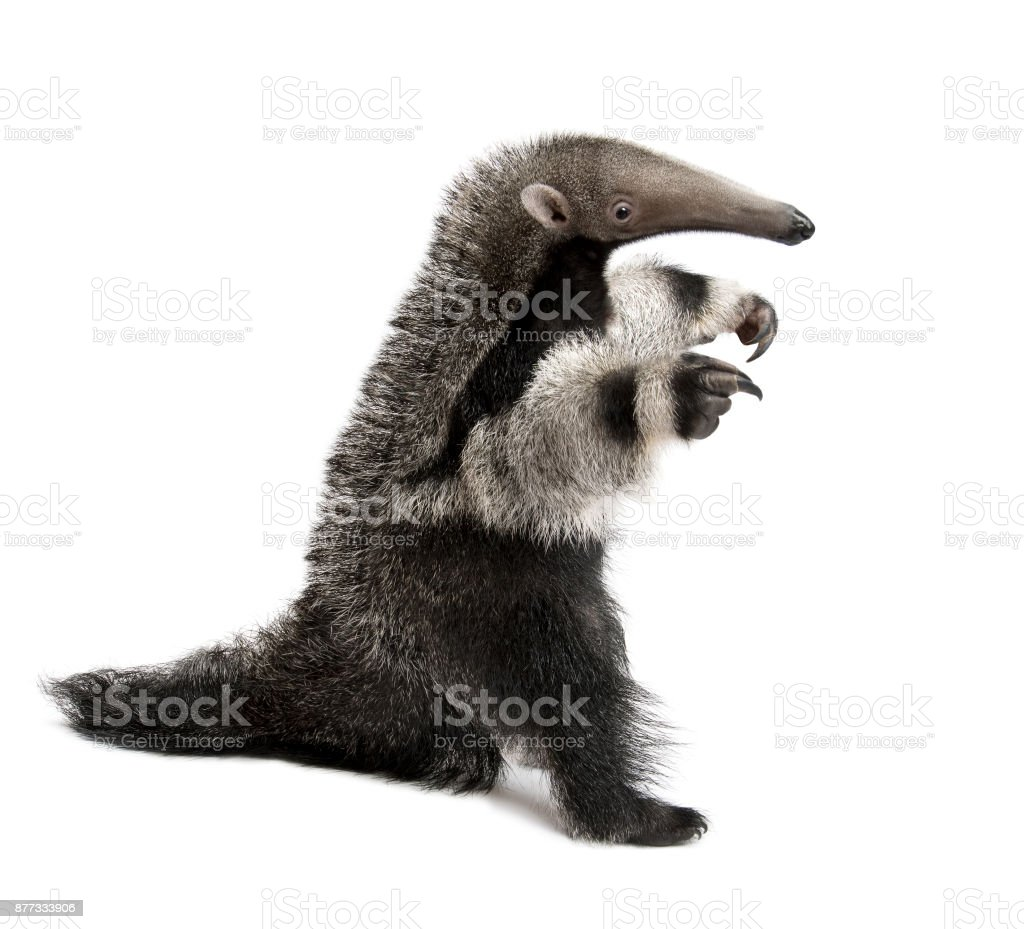 Young Giant Anteater, Myrmecophaga tridactyla, 3 months old, walking in front of white background, studio shot stock photo