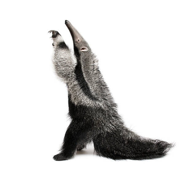 Young Giant Anteater, reaching up in front of white background  Giant Anteater stock pictures, royalty-free photos & images