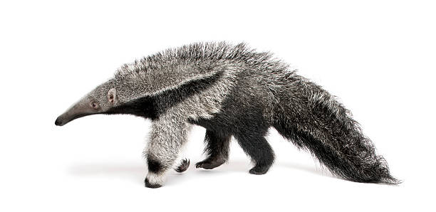 Young Giant Anteater walking in front of white background  Giant Anteater stock pictures, royalty-free photos & images