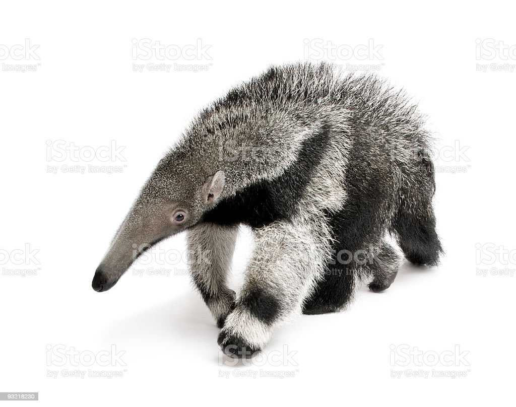 Young Giant Anteater walking in front of white background stock photo
