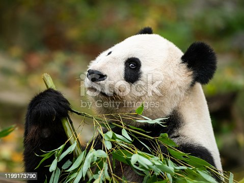 A young giant panda (Ailuropoda melanoleuca) sitting and eating bamboo