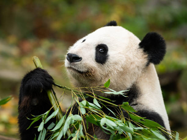 A young giant panda (Ailuropoda melanoleuca) sitting and eating A young giant panda (Ailuropoda melanoleuca) sitting and eating bamboo herbivorous stock pictures, royalty-free photos & images