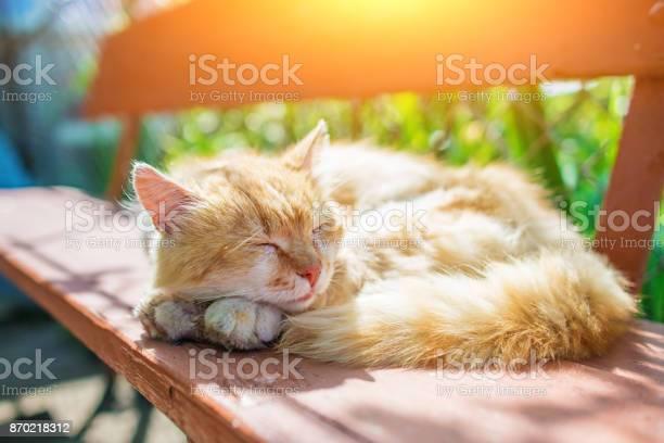 Young ginger stripped siberian cat sleeping with eyes closed on a picture id870218312?b=1&k=6&m=870218312&s=612x612&h=5qhr8rymaxobb9fu4xhvrgjwyhetq iq52kb68nhkgq=