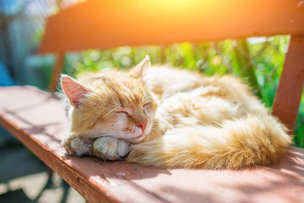 young ginger stripped siberian cat sleeping with eyes closed on a wooden bench stock photo
