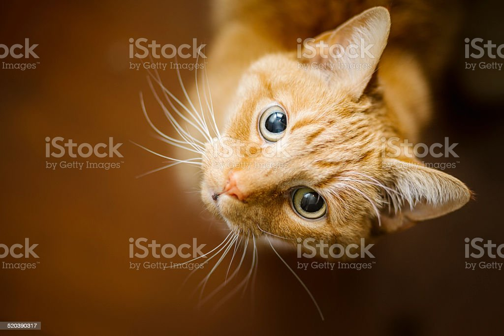 Young Ginger Tom Cat stock photo