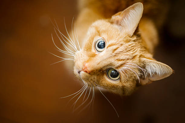 Young Ginger Tom Cat A young ginger tom cat looks up at the camera. theasis stock pictures, royalty-free photos & images