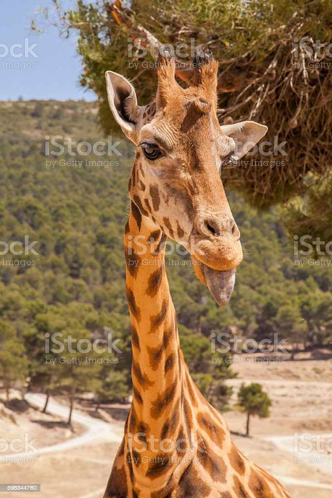 Young giraffe royalty-free stock photo