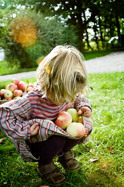 Young Girl 4 Year's Old Picking Apples in The Autumn stock photo