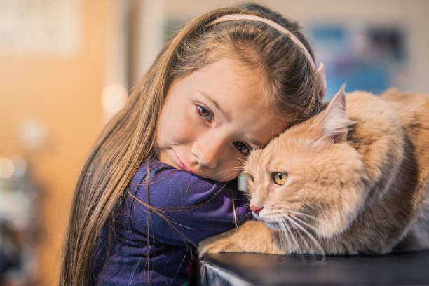 Young girl and her Maine Coon cat on the visit to the vet. stock photo