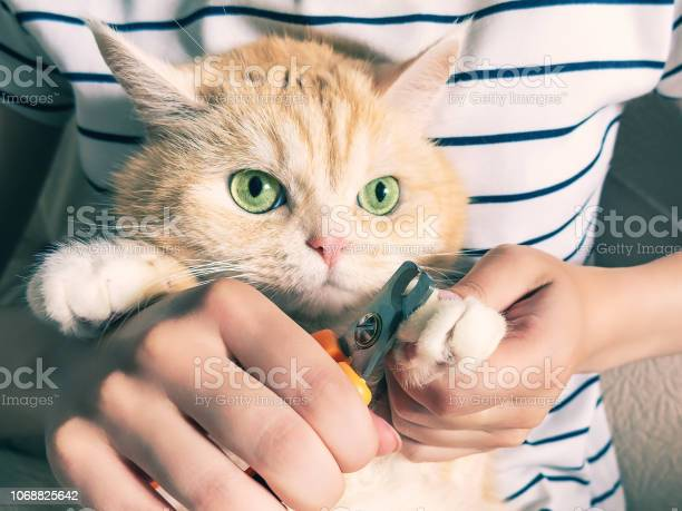 Young girl cuts the claws of a beautiful cream kitten with green eyes picture id1068825642?b=1&k=6&m=1068825642&s=612x612&h=8hj8e99phc3tvatje5y0cog tqigrikpdrbmvw4tqow=