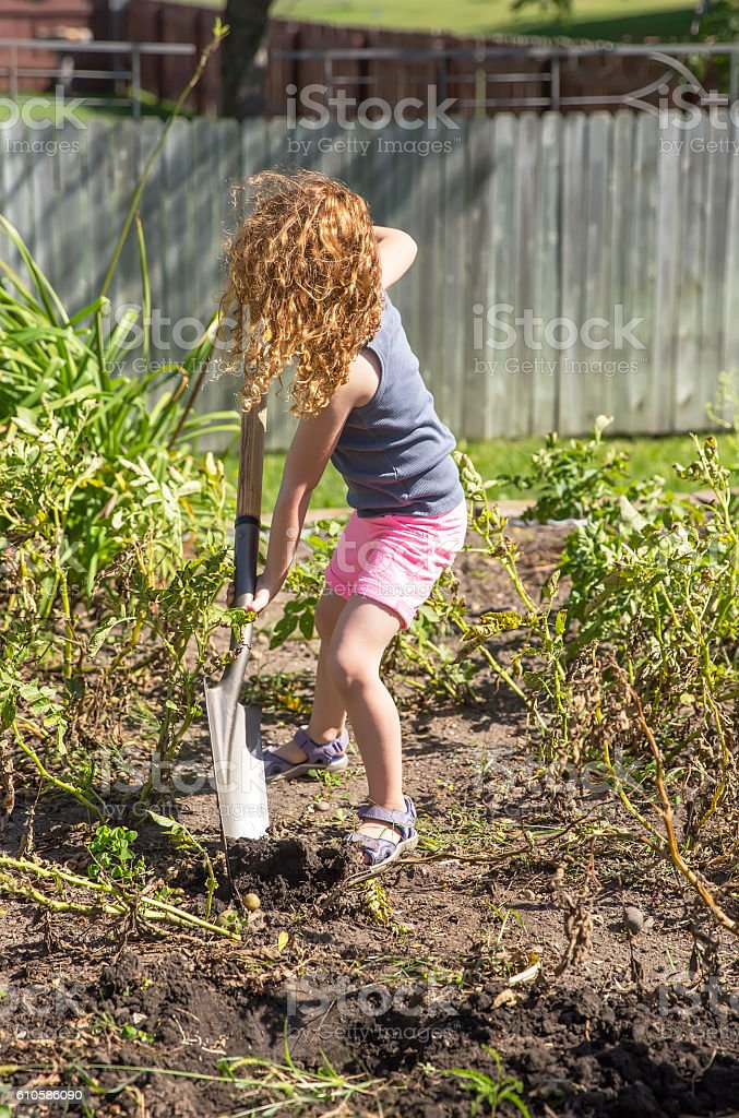 Young Girl Digging Potatoes In Garden Royalty Free Stock Photo