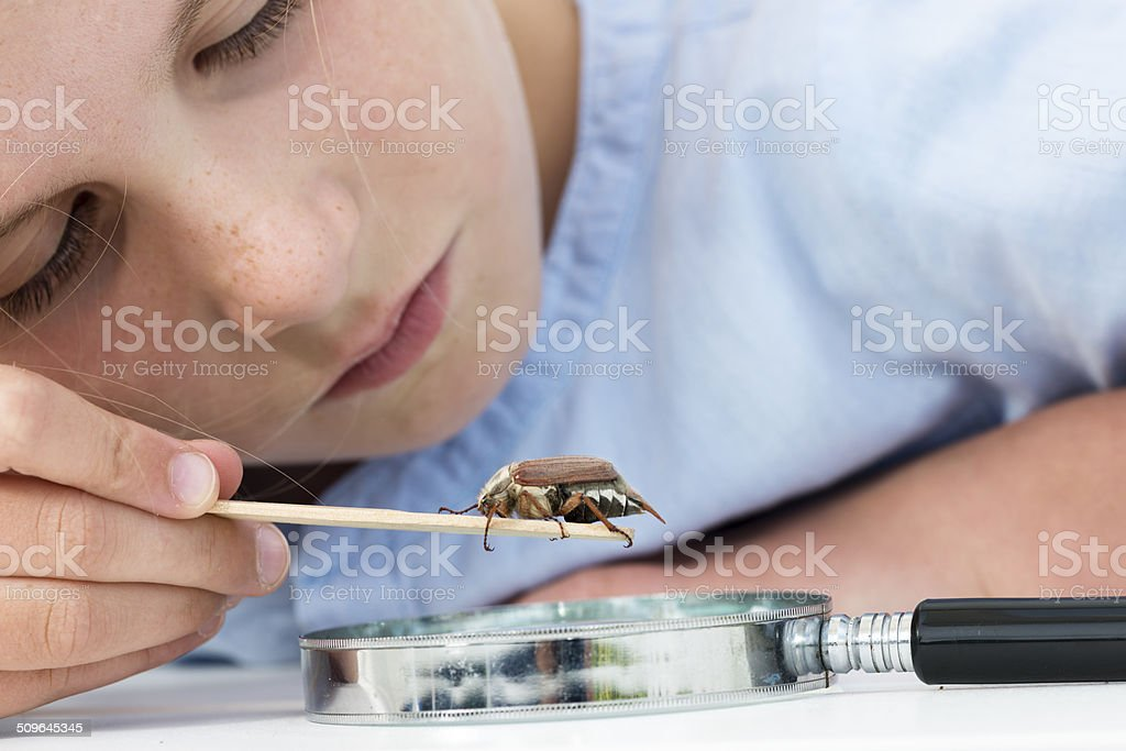 Young Girl Examining Maybug Beetle or Melolontha melolontha. stock photo