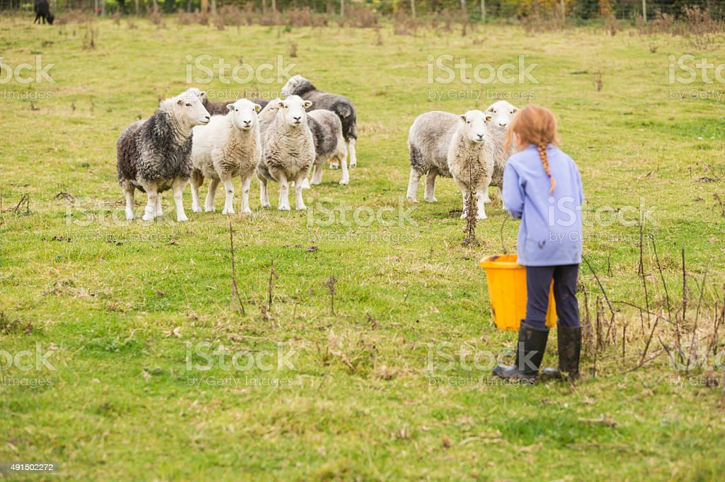 Young Girl Feeding Sheep on an Organic Farm stock photo