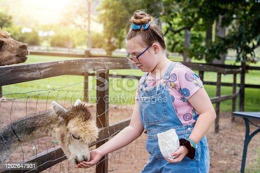 Alpaca Feeding On Alpaca Farm.