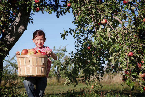 A young girl in an orchard picking apples Young girl in an orchard apple orchard stock pictures, royalty-free photos & images