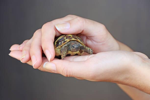 junges mädchen hält eine schildkröte - babyschildkröten stock-fotos und bilder