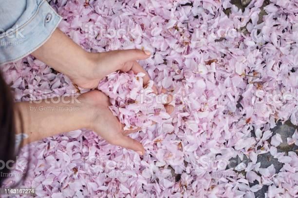 Young girl is holding fallen pink cherry sakura petals in her hands picture id1163167274?b=1&k=6&m=1163167274&s=612x612&h=mrz3y0hwz ziautsiukqkgbhh oqqbtyicsjxojayne=