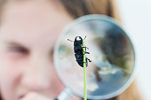 Cute young girl 10 years old looking at a Scarab Beetle that is clinging on to a blade of grass through a magnifying glass.Tight crop with the focus on the black beetle  that is in front of her face. Horizontal format with some copy space.