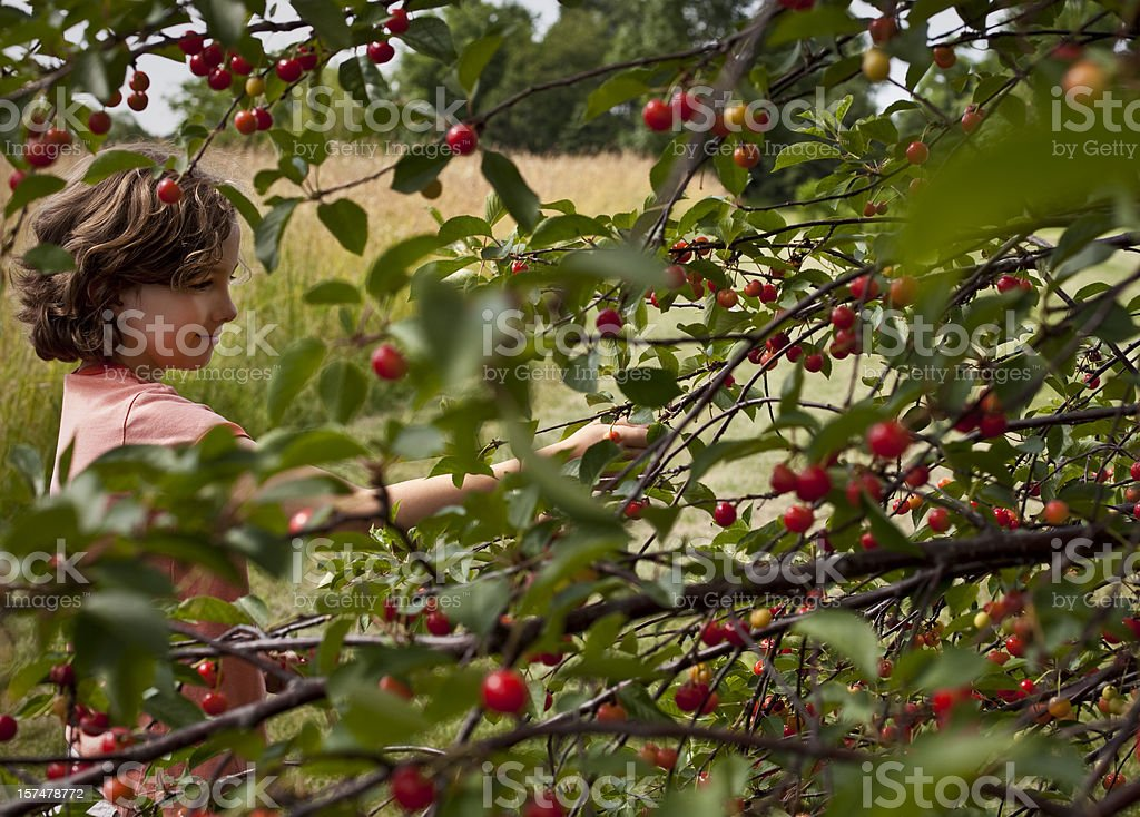 Young girl picking cherries royalty-free stock photo
