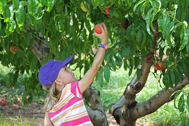 giovane ragazza scegliere peaches da un albero - pesche bambino foto e immagini stock