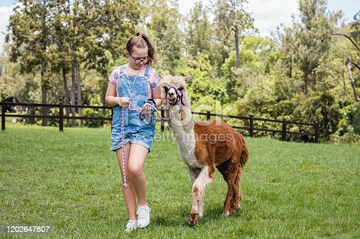 Young Girl Walking Alpaca On Alpaca Farm.