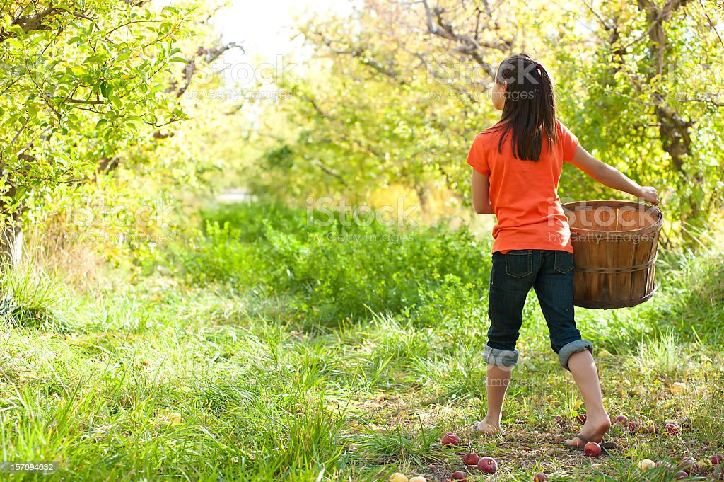 Young girl walking with basket gathering apples stock photo