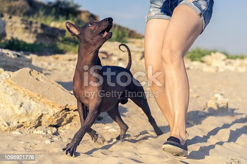 Young girl walking with her dog xoloitzcuintli on sand beach at sunset