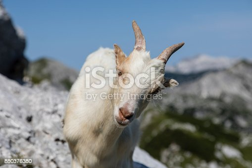 istock Young goat curiously looks into the camera, Alps of Slovenia 880376380