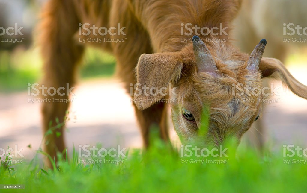 Young goat eating grass stock photo