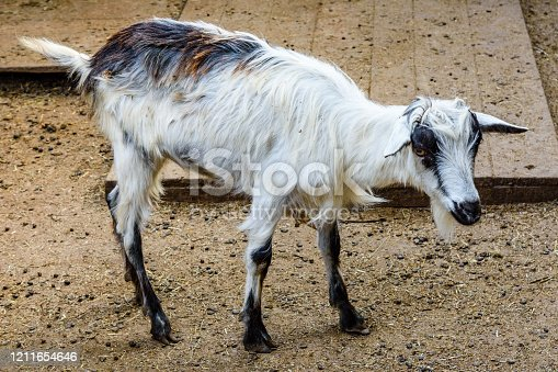 510797127 istock photo Young goat in corral on a farm 1211654646
