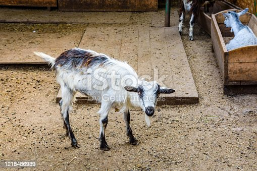 510797127 istock photo Young goat in corral on a farm 1218486939