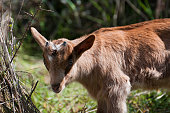 Young goat born few weeks ago