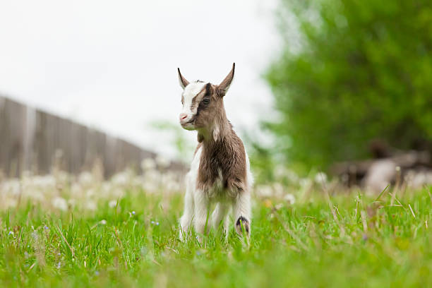 Young goat. stock photo