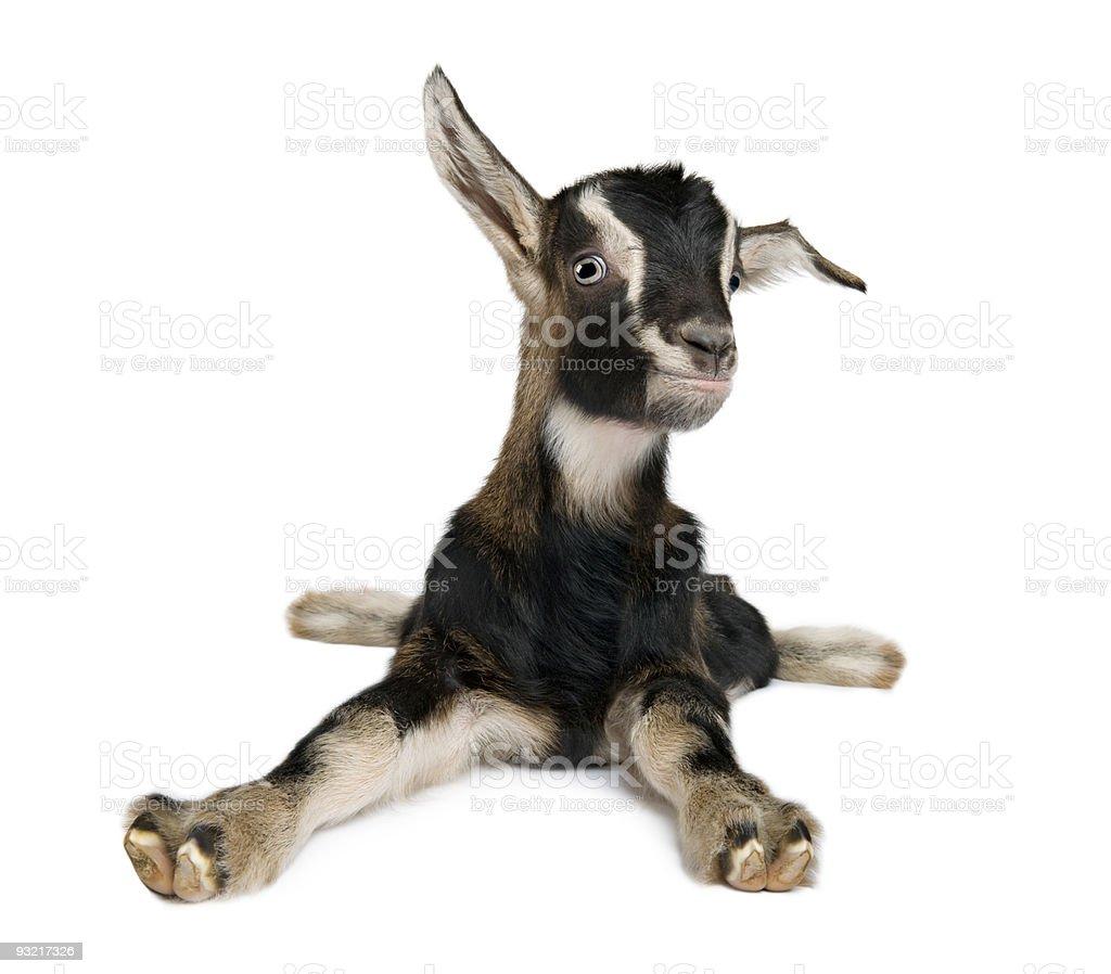De cabra jovem (3 SEMANAS - foto de acervo