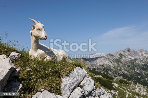 istock Young goat sits relaxed on the meadow and looks into the camera 880378872